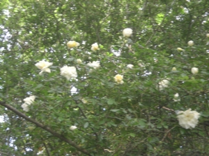 looking up at Rosa Alberic Barbier