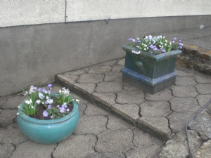 Pots filled with scillas, white grapehyacinths anenomes etc