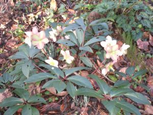 Not this years hellebores!