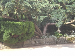 This is the Juniper that is splitting
