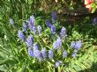 And little grape Hyacinths